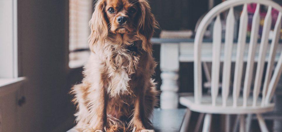 Schokolade: tödliche Gefahr für den Hund